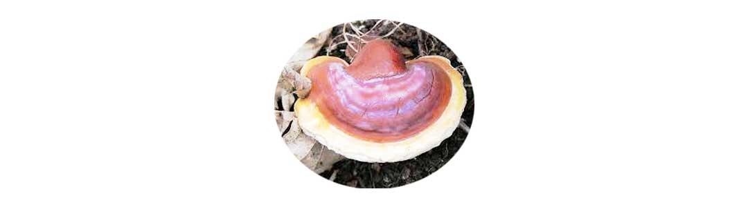 قارچ گانودرما و خواص آن